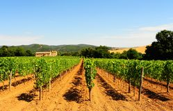 Vineyard. Hill Of Toscana With Vineyard In The Chianti Region Royalty Free Stock Photos