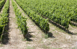 Vineyard Stock Images