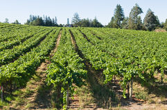 Vineyard. Rows of grapevines on rolling hills, Sebastopol, California Stock Photos