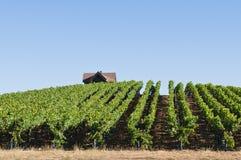 Vineyard. Rows of grapevines on rolling hills, Sebastopol, California royalty free stock image