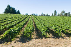 Vineyard. Rows of grapevines on rolling hills, Sebastopol, California Royalty Free Stock Images