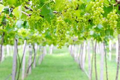Vineyard. Young growth vineyard in thailand Stock Image