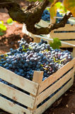 Vineyard. Red grapes photographed in vineyard Stock Photo