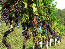 Vineyard. Italian vineyard with bunches of ripe grapes Stock Image