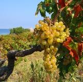 Vineyard. On ISSA island near the sea Stock Photos