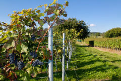Vineyard. With some fresh grapes in Heidelberg, Germany Stock Images