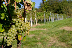 Vineyard. With some fresh grapes in Heidelberg, Germany Royalty Free Stock Photography
