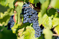 Vineyard. With some fresh grapes in Heidelberg, Germany Royalty Free Stock Images