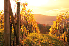 Vineyard. Sunset on a vineyard with autumn-colored vine stock image
