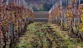 Vineyard. Scene of Italian vineyard in Region of Marche Stock Photo