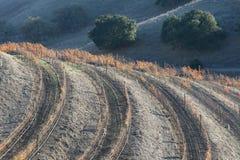 Vineyard. California vineyard in winter foliage Stock Images