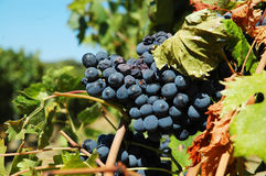 Vineyard. With Red Grapes on the Vine in Corsica ready to be made into Wine Stock Photo