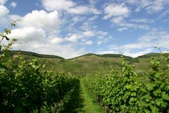 Vineyard. View Royalty Free Stock Images