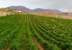 Vineyard. In mountains of Tajikistan. Cloudy day. Horizontal Royalty Free Stock Image