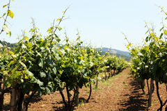 Vineyard. In the Aytos Valley Royalty Free Stock Image