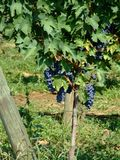 Vineyard 2. Black grapes in an italian vineyard Royalty Free Stock Photography