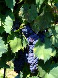 Vineyard 2. Black grapes in an italian vineyard Stock Images