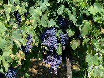 Vineyard 2. Black grapes in an italian vineyard Royalty Free Stock Image