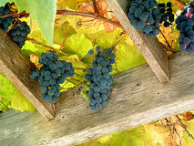 Vineyard 2. Clusters of purple grapes hanging from an overhead trellis Royalty Free Stock Photography