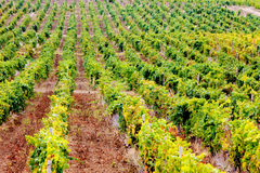 Free Vineyard Royalty Free Stock Photos - 20005738