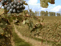 Vineyard. A good background shot of a vineyard perfect for brochures or advertisements royalty free stock photos