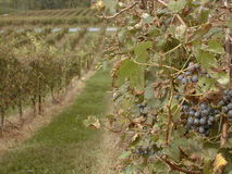 Vineyard. A good background shot of a vineyard perfect for brochures or advertisements royalty free stock images