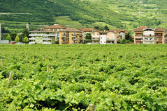 Vineyard Stock Photo