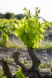 Vineyard. Royalty Free Stock Photography