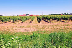 Vineyard. Background with rows and rows of grape trees Royalty Free Stock Image