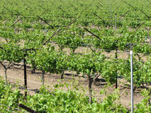 Vineyard. Grape vines in an irrigated vineyard in the California desert Stock Images