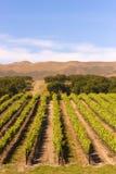 Vineyard. A vineyard near Paso Robles in southern California Royalty Free Stock Photo