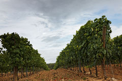 Vineyard. Perspective in a vineyard in a cloudy afternoon Royalty Free Stock Photo