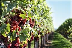 Free Vineyard Stock Image - 21149901