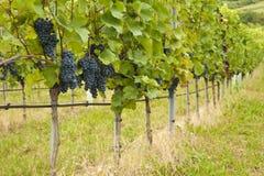 Free Vineyard Stock Photos - 21180073