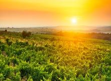 Vineyard. Beautiful vineyard landscape in sun light Royalty Free Stock Photography