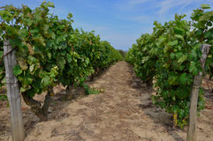 Vineyard. Vine beds at vineyard in Vouvray - Loire Valley - France Stock Photos