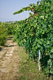 Vineyard. Photo of a vineyard in a sunny day Royalty Free Stock Photography