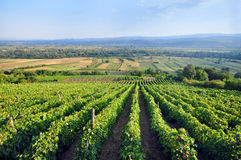Vineyard. Common Vineyard near small European village Royalty Free Stock Photos