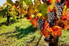 Vineyard. Clusters of Purple Wine Grapes on Vine in Vineyard Stock Images
