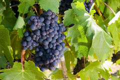 Vineyard Royalty Free Stock Photography