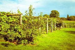 Vineyard Stock Image