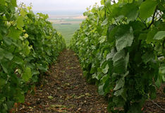 Vineyard. Row  in Champagne (France Royalty Free Stock Photos