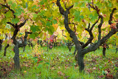 Vineyard. View of a vineyard in autumn Stock Photography