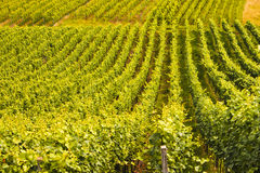 Vineyard. A field of cultivated vine plants standing in rows Royalty Free Stock Image