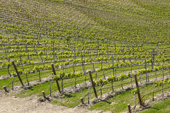Vineyard. A vineyard from douro valley Stock Photography