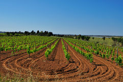 Vineyard. In spring with grooves in the earth Stock Photo