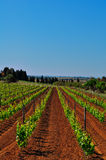 Vineyard. In spring with grooves in the earth Stock Images
