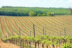 Vineyard. In South Moravia in spring Royalty Free Stock Photo