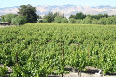 Vineyard. Large vineyard with mountains in the background Royalty Free Stock Images
