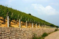 Vineyard. Near Wuerzburg, Franconia, Germany Royalty Free Stock Images